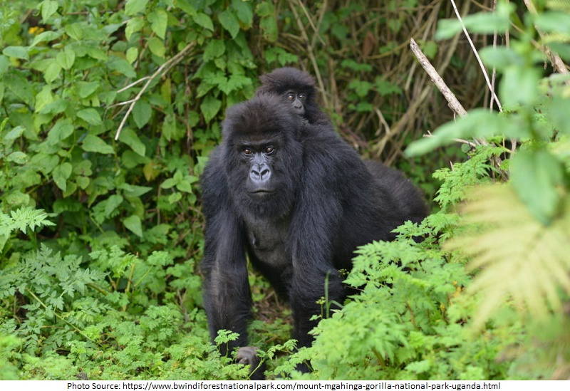 Tourist Attractions in Uganda, Mgahinga Gorilla National Park